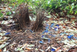 Our Secret Bower Bird Nest