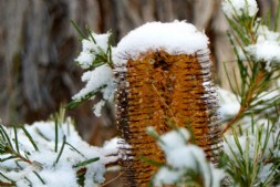 Snow on banksia