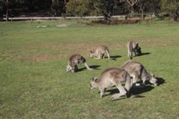 Breakfast with the Kangaroos