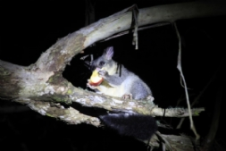 Clifford, our wild Brushtail Possum