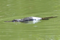Platypus are spotted daily in the Blue Lake.