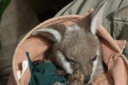 Baby wallaby at Featherdale