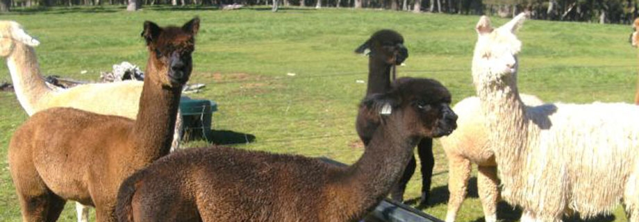 Helmshore Manor Alpacas