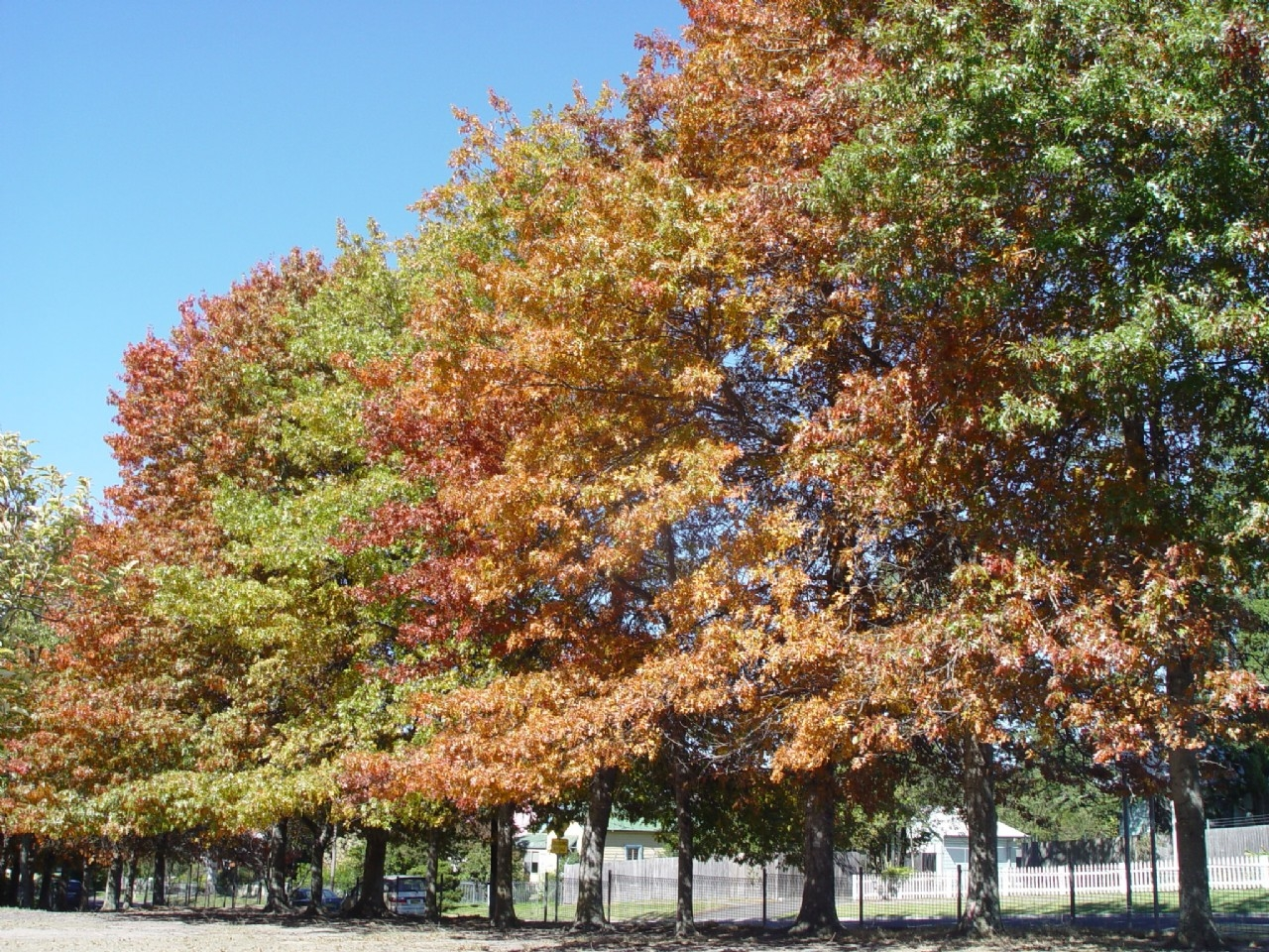 Lawson in autumn