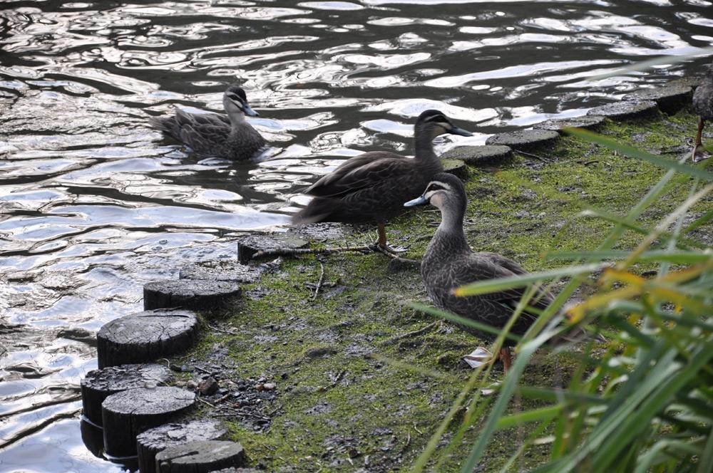 Wild Ducks at Blackheath Memorial Park