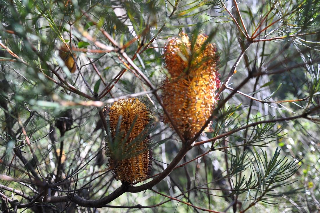 Australia Bottlebrush at Hazelbrook
