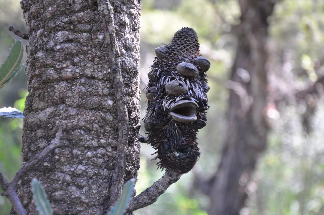 Australian Banksia at Hazelbrook