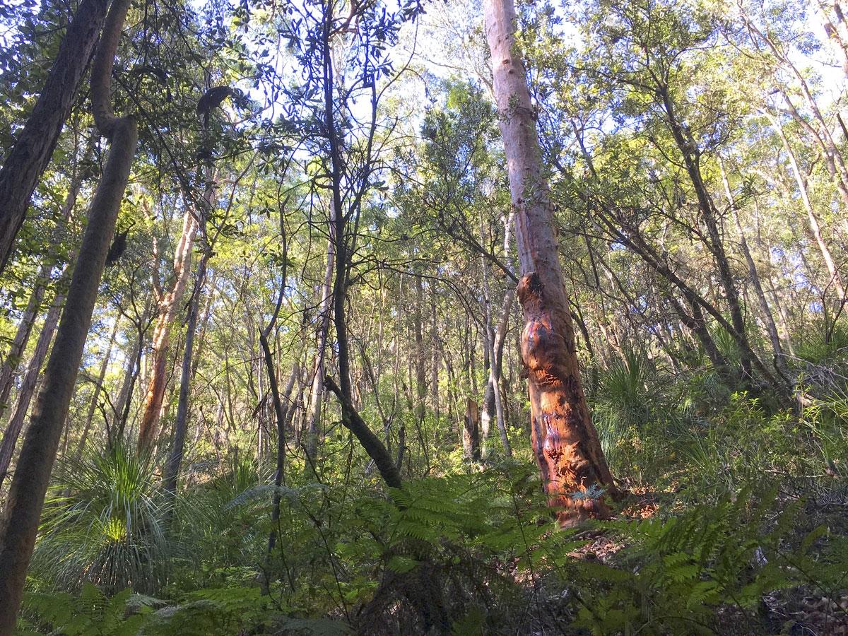 Birdwood Gully Round Walk Springwood