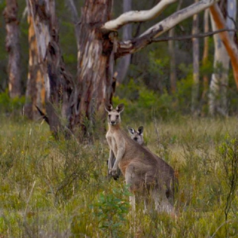 Blue Mountains Twilight/Wildlife Tour