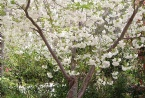 Our fuji cherry tree in full bloom