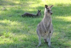 Wallabies on Front Lawn