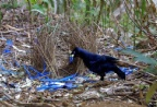 A Male Satin Bower Bird