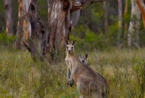 Blue Mountains Kangaroo