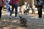 Featherdale Wildlife Park-Kangaroos
