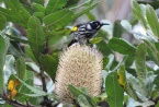 Honeyeater on Banksia