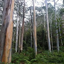 Beautiful tall straight blue gums