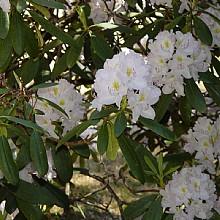 Rhododendons