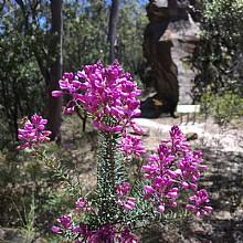 Wentworth Falls Flora