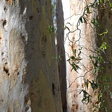 Eucalyptus haemastoma, the scribbly gum