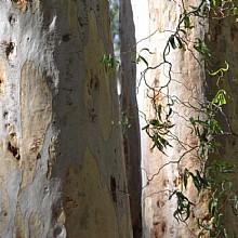 Eucalyptus haemastoma, the scribbly gum